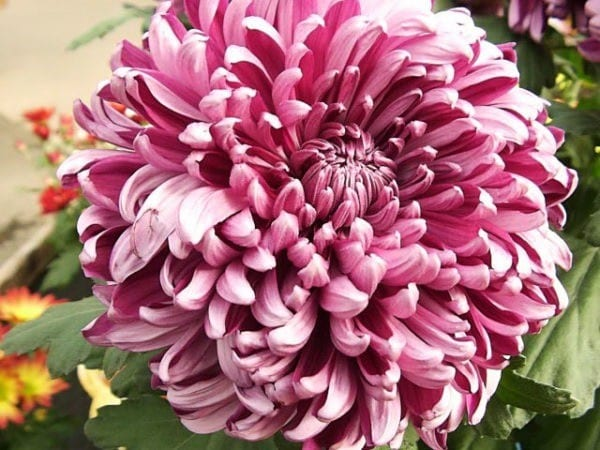 chrysanthemum_grandiflorum